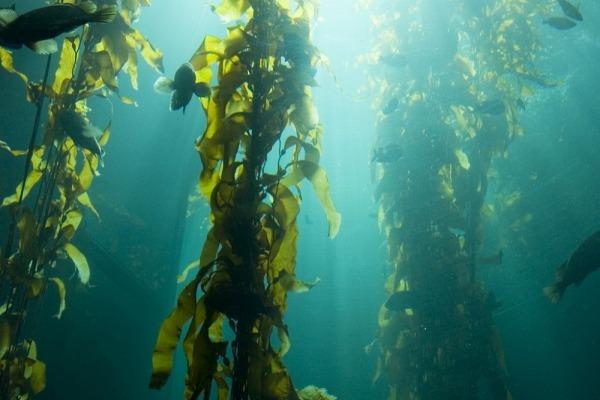водоросль келп